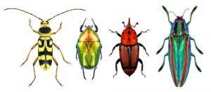 Escarabajo flor de cuerno largo, maceta de flores, malvado de palma roja y escarabajo de joyas (escarabajo de madera metálica aburrido) aislado en un fondo blanco.