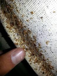 un dedo humano apunta a escarabajos dermestidos
