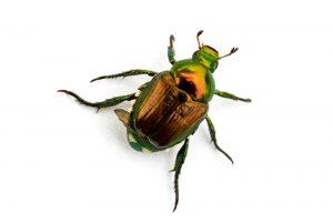 Trampas de Escarabajo Japonesas: 6 Trampas más Vendidas y 5 Trampas DIY