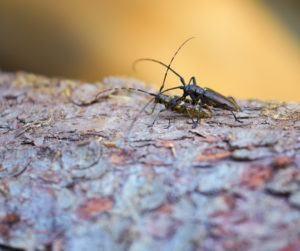 Un par de escarabajos longhorn apareándose en corteza de árbol.