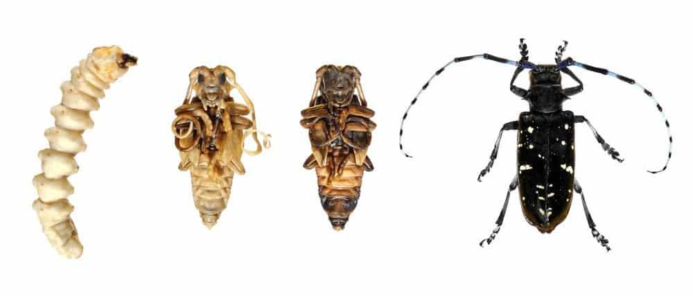 Escarabajo Longhorn: Ayuda a Detener al Escarabajo Asiatico de la Muerte de Más Árboles