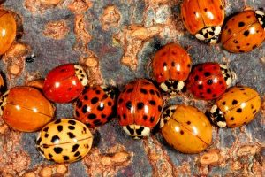 Mariquitas y escarabajos asiáticos