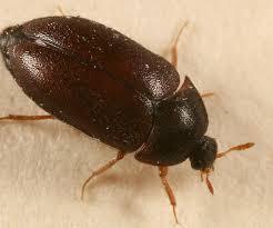 Escarabajos de alfombras dañinos