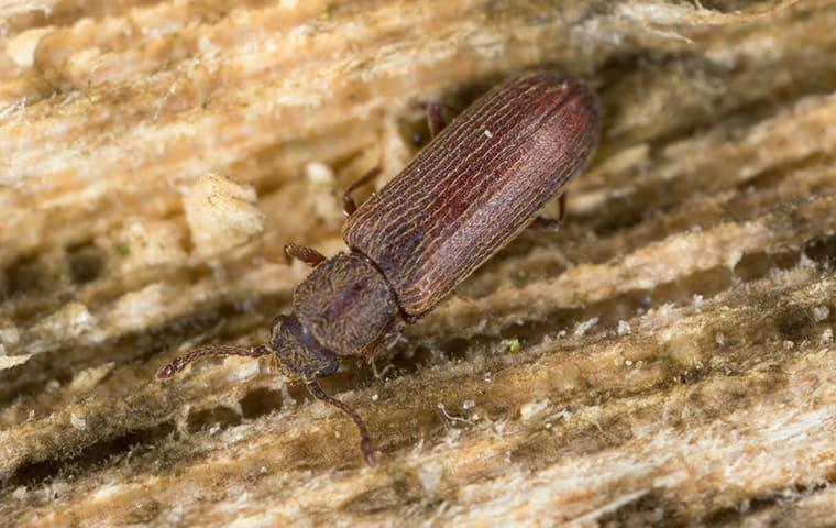 Control de Pólvora de Escarabajos de Forma Natural en Jardines ( 2019 )