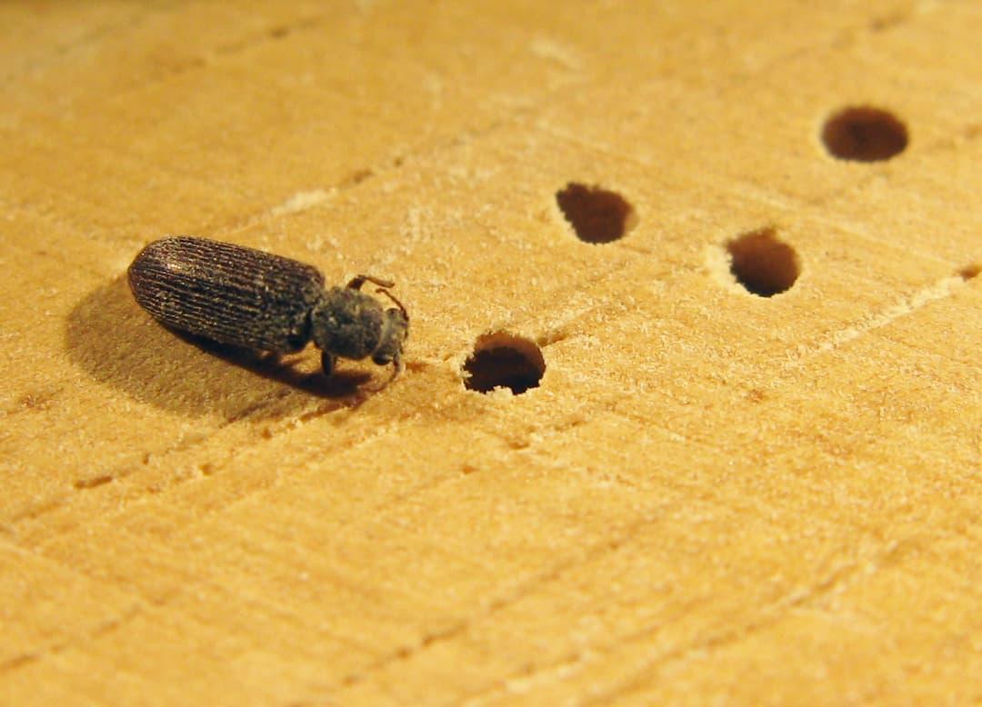 10 Mejores Repelentes para Detener los Escarabajos de Postes en Polvo