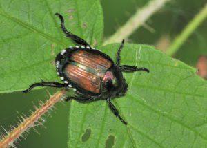 Escarabajo japonés en hoja de planta con daño.