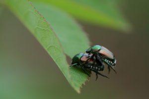 Macro de escarabajos japoneses.