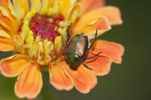 Escarabajo japonés en una Zinnia naranja brillante.