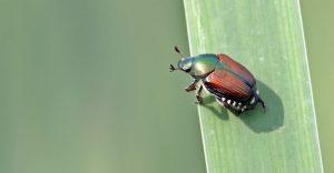Escarabajos Japoneses: Información Básica, 6 Datos Divertidos y 5 Formas de Deshacerse de Ellos