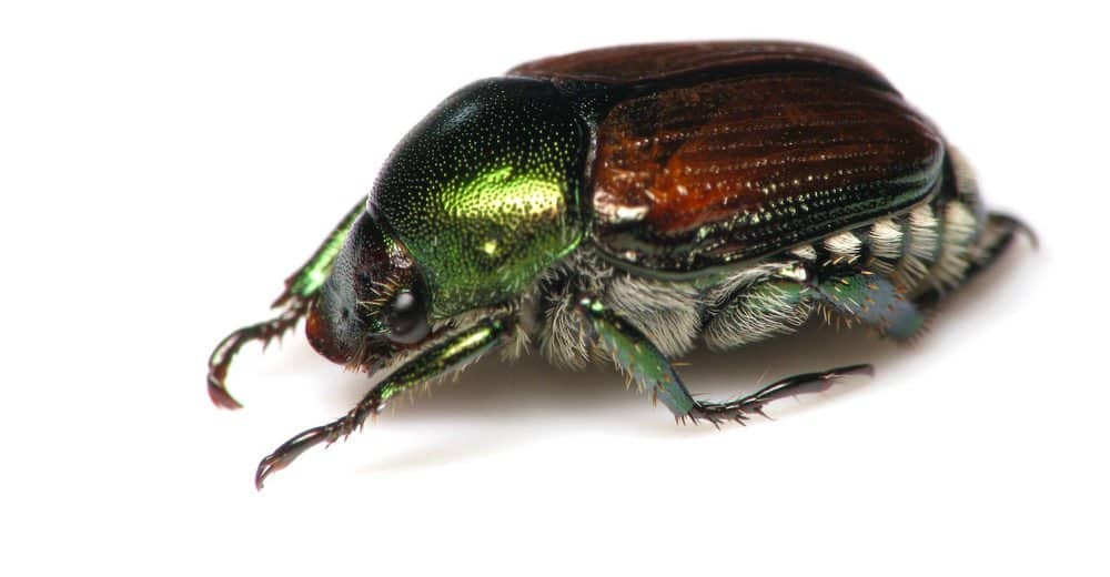 Cómo Deshacerse de los Escarabajos Japoneses (Más Hechos Divertidos)