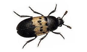 Escarabajos más grandes sobre fondo blanco