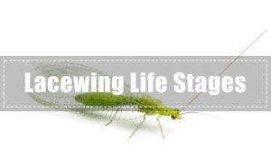 Ala de Encaje — Saber más sobre las Etapas de Vida del Ala de Encaje