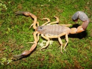 10 Especies de Escorpión Más Comunes y Cómo Identificarlas