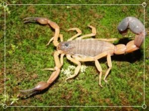 Escorpión a Rayas de Guayana