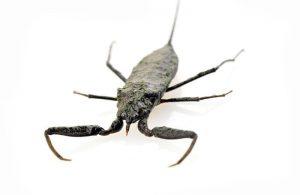 Un primer plano de un escorpión de agua