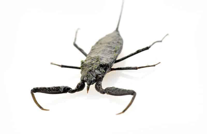 Escorpión de Agua: Hechos Generales y Cómo Lidiar con ellos
