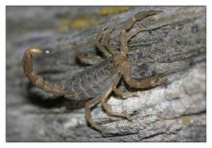 Escorpión de Madera a Rayas