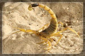 Escorpión de Tierra Amarillo