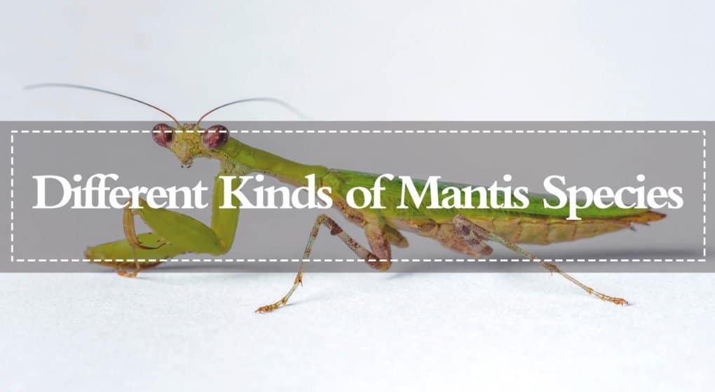 Mantis – Diferentes Tipos de Especies de Mantis (2018)