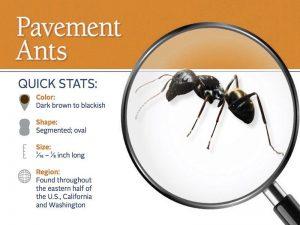 Cómo Deshacerse de Hormigas de Pavimento en Casa con Métodos Naturales y Químicos?