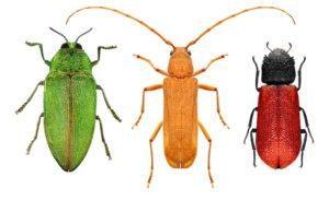 Escarabajo rojo, escarabajos de cuerno largo