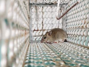 Un ratón está atrapado en una jaula