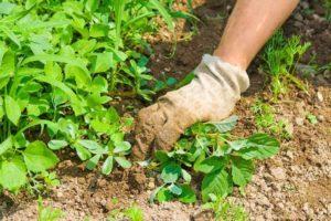 Extracción de las plantas de la tierra en el jardín