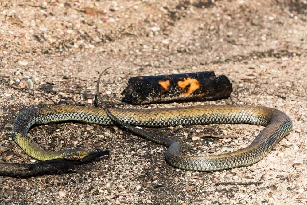 Fumar las serpientes