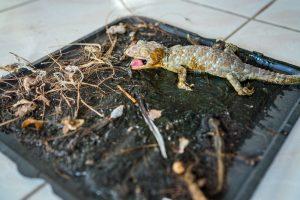 Para atrapar a un lagarto con un disparo de primer plano: Tokay gecko en trampa de pegamento.