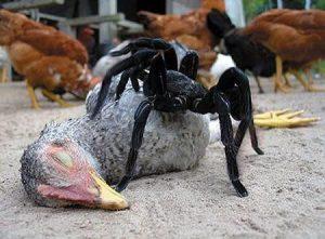 7 Datos Divertidos Sobre el Goliat Pájaro Comiendo Araña