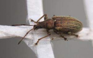 Gorgojo escarabajo en la rama transversal
