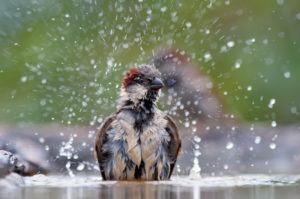Gorrión bañándose con salpicaduras