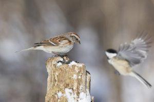 Gorriones cantores en invierno