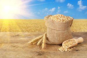 Granos de trigo en bolsa en la mesa de madera en el campo de trigo con sol