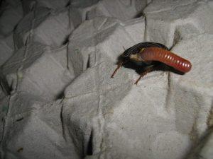 Una cucaracha pone huevos