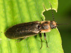 Haga clic en escarabajo descansando en la hoja
