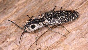 Eyed clic escarabajo tendido en árbol