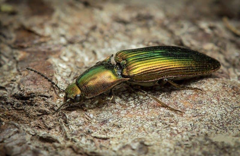 Haga Clic en Escarabajos: Datos Básicos y Cómo Controlar