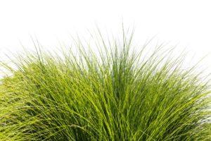Hojas verdes de hierba alta sobre fondo de cielo blanco