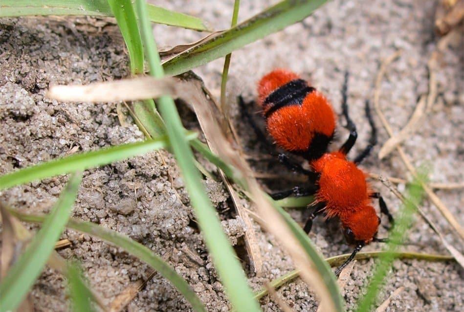 10 Consejos para Controlar las Hormigas de Terciopelo Rojo (Infestar a tu Hogar)