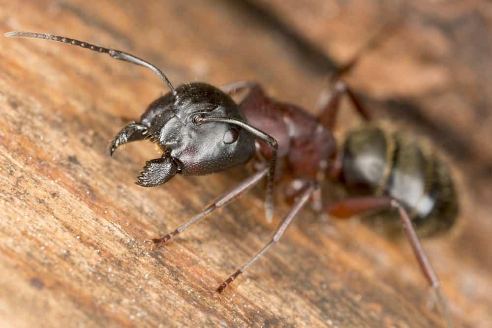 Cerca de la imagen de la hormiga del carpintero