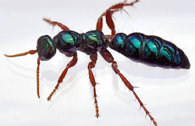 Hormiga Azul: A Pesar de su Nombre, no una Hormiga en Absoluto (2 Formas Eficaces de Controlar)