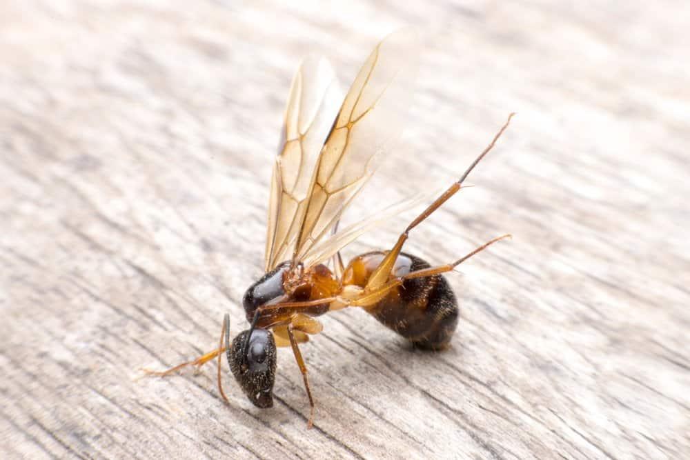 Aalas de hormigas de carpintero
