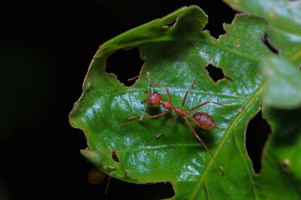 Lo que Necesita Saber Sobre un Método de Control Eficaz para la Hormiga de Cortador de Hojas