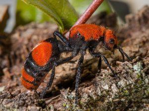 Hormiga de Terciopelo Rojo (La Hormiga Asesina a las Vacas) – Guía Completa