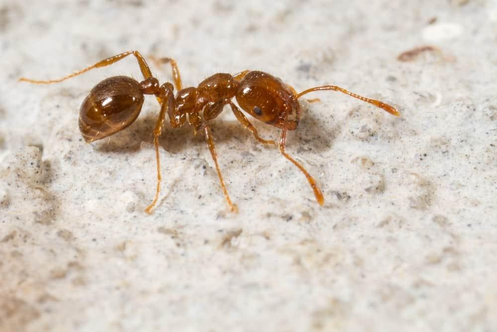 9 Hechos de Hormiga de Fuego que no Quieres Perder