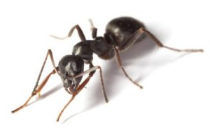 Hormiga jardín negra en el fondo blanco