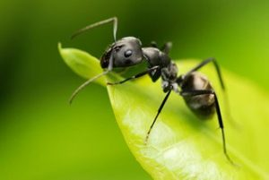 Una hormiga de jardín negra en la hoja
