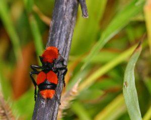 Hormiga de terciopelo rojo tumbada en el árbol