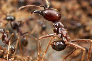 Una gran hormiga del ejército y una pequeña hormiga del ejército